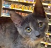 A picture of #ET02039: Dria a Domestic Short Hair dilute calico