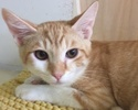 A picture of #ET02040: Boggi a Domestic Short Hair orange/white