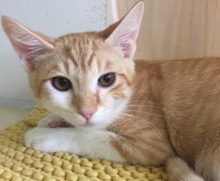 [another picture of Boggi, a Domestic Short Hair orange/white\ cat]