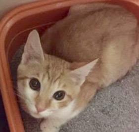 [picture of Boggi, a Domestic Short Hair orange/white cat]