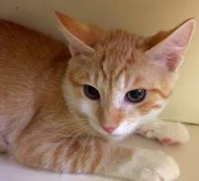 [picture of Boggi, a Domestic Short Hair orange/white\ cat]