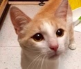 A picture of #ET02041: Yuri a Domestic Short Hair dilute orange/white