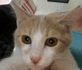 A picture of #ET02043: Tang a Domestic Short Hair orange/white
