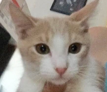 [picture of Texx, a Domestic Short Hair orange/white\ cat]