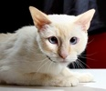 A picture of #ET02045: Lila a Siamese flame point
