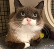 A picture of #ET02046: Dolori a Ragdoll Mix seal point/snow shoe