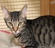 A picture of #ET02047: Rafffel a Domestic Short Hair brown tabby