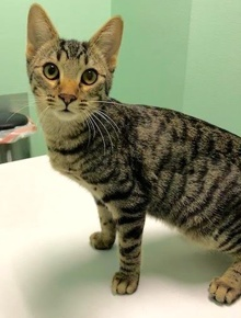 [picture of Marie, a Domestic Short Hair brown tabby cat]