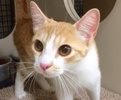 A picture of #ET02049: Leia a Domestic Short Hair orange/white