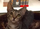 A picture of #ET02053: Lovey a Domestic Short Hair brown tabby