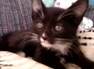 A picture of #ET02054: Hugo a Domestic Short Hair black/white tuxedo
