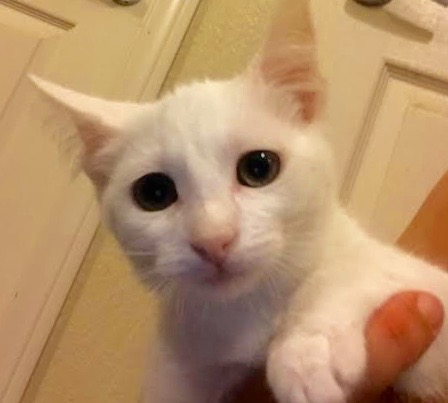 [picture of Lele, a Turkish Van Mix white\ cat]
