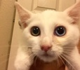 A picture of #ET02056: Chico a Turkish Van Mix white