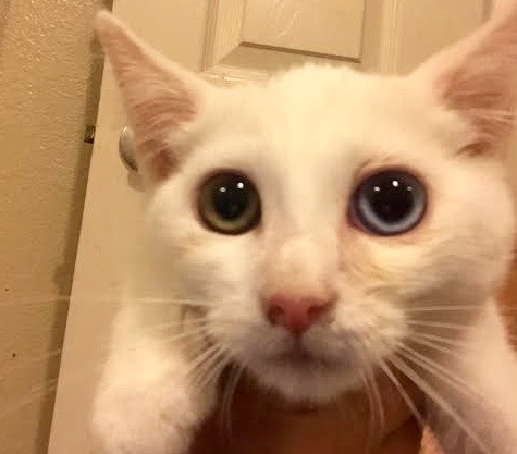 [picture of Chico, a Turkish Van Mix white\ cat]