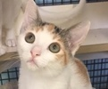 A picture of #ET02057: Chela a Domestic Short Hair calico