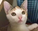 [picture of Chela, a Domestic Short Hair calico cat]