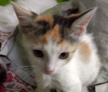 [picture of Chela, a Domestic Short Hair calico\ cat]
