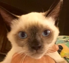 [picture of Suiza, a Siamese chocolate point\ cat]