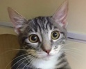 A picture of #ET02059: Solana a Domestic Short Hair silver/white