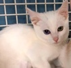 A picture of #ET02060: Chiquita a Domestic Short Hair bi-eyed white