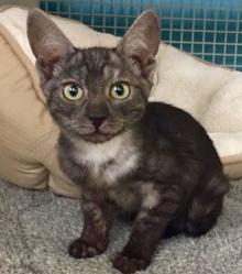 [another picture of Chongo, a Egyptian Mau Mix smoke\ cat]