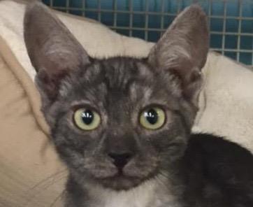 [picture of Chongo, a Egyptian Mau Mix smoke\ cat]