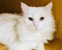 A picture of #ET02064: Snowman a Domestic Long Hair white