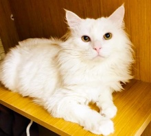 [another picture of Snowman, a Domestic Long Hair white\ cat]