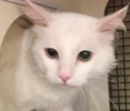 [picture of Snowman, a Domestic Long Hair white cat]