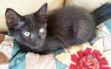 [another picture of Ferulo, a Domestic Long Hair black\ cat]
