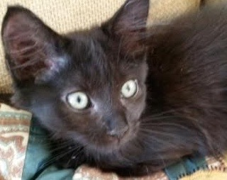 [picture of Ferulo, a Domestic Long Hair black\ cat]