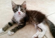 [another picture of Flaxi, a Domestic Long Hair black tabby/white\ cat]