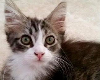 [picture of Flaxi, a Domestic Long Hair black tabby/white\ cat]