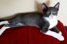 [another picture of Fennel, a Domestic Short Hair blue/white\ cat]
