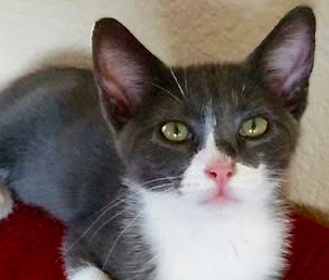 [picture of Fennel, a Domestic Short Hair blue/white\ cat]