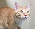 A picture of #ET02069: Razzmataz a Domestic Short Hair orange/white