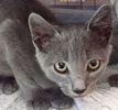 A picture of #ET02070: Rocque a Russian Blue Mix blue