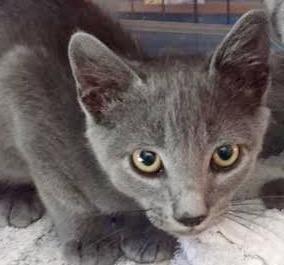 [picture of Rocque, a Russian Blue Mix blue\ cat]