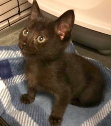[another picture of Remi AKA Marry E Jasper, a Oriental Mix black\ cat]