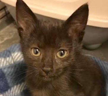 [picture of Remi AKA Marry E Jasper, a Oriental Mix black\ cat]