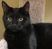 A picture of #ET02080: Turkis a Domestic Short Hair black