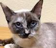 A picture of #ET02081: Soon Li a Siamese tortie point