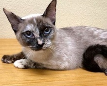 [another picture of Soon Li, a Siamese tortie point\ cat]