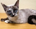 [picture of Soon Li, a Siamese tortie point cat]
