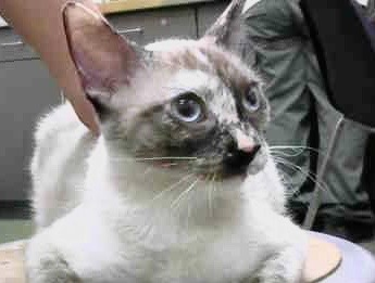 [picture of Soon Li, a Siamese tortie point\ cat]