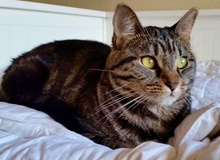 [another picture of Susana, a Domestic Short Hair brown tabby\ cat]