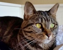 [picture of Susana, a Domestic Short Hair brown tabby\ cat]