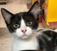 A picture of #ET02090: Emila a Domestic Short Hair black/white