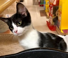 [another picture of Emila, a Domestic Short Hair black/white\ cat]