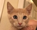 A picture of #ET02091: Othello a Domestic Short Hair orange